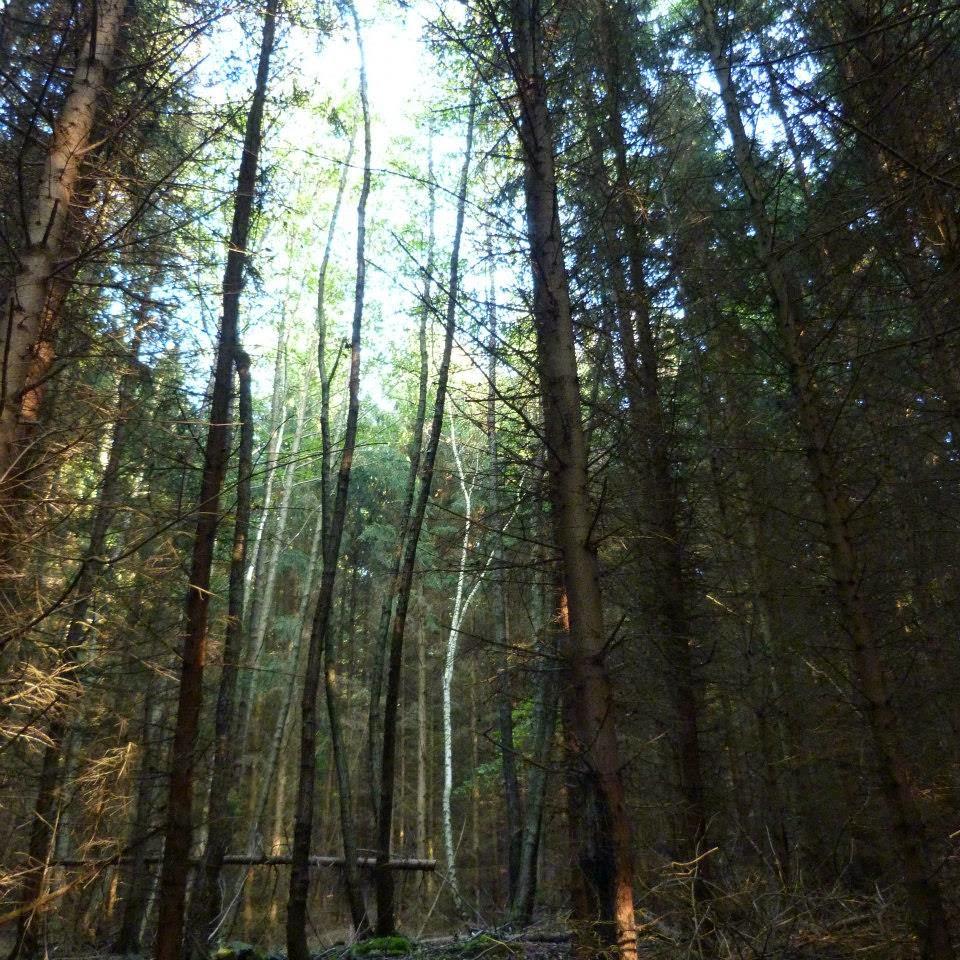 Szép fehér fa fehér fényben arany árnyak rejtekében türkiz fenyők gyűrűjében föld-emlékű mély erdőben  jelek jelezte kedves úton.